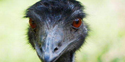 Emu Hilde