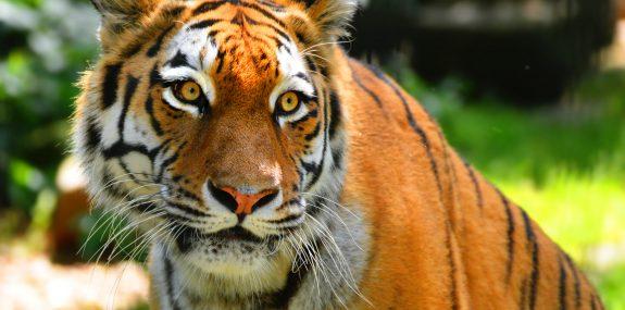 Sibirischer Tiger_1