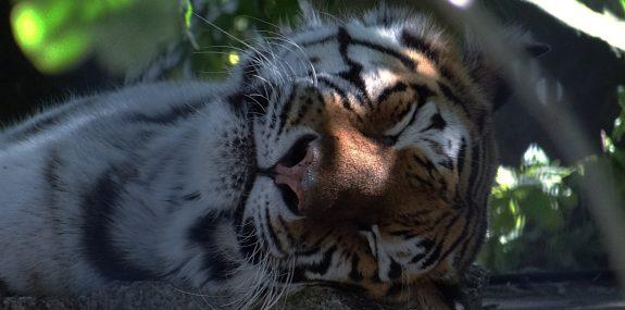 Schlafender Tiger bei Nacht