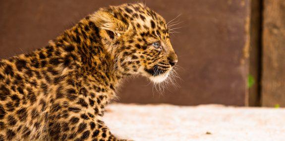 Leopardenbaby im Zoo Hoyerswerda