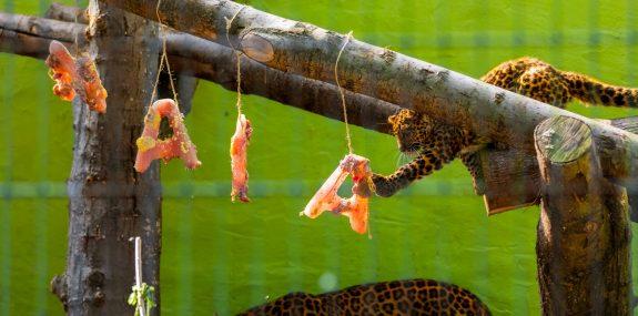 Leopardenbaby Nala im Zoo Hoyerswerda, fast fünf Monate alt