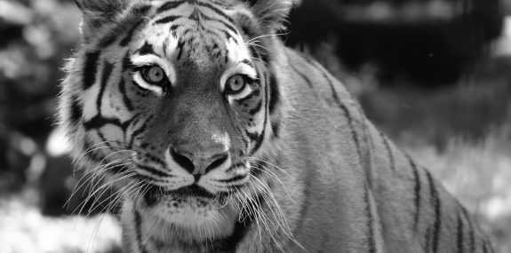 Sibirischer Tiger Irina_Foto_Zoo Hoyerswerda